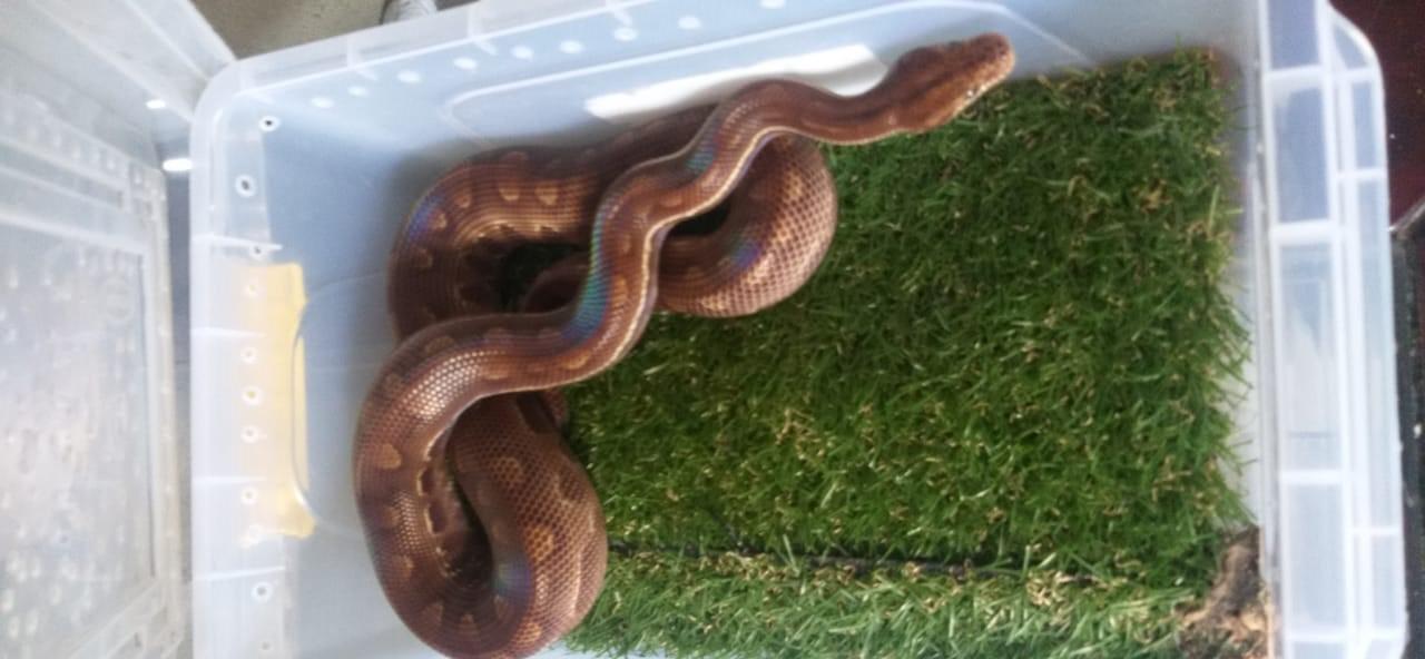 PM apreende 17 cobras mantidas em cativeiro em Itaquá