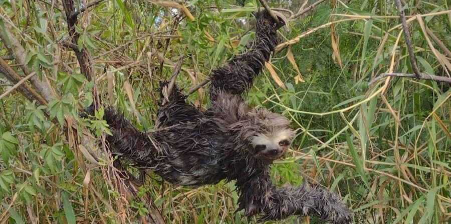 Bicho-preguiça é resgatado em Itaquá